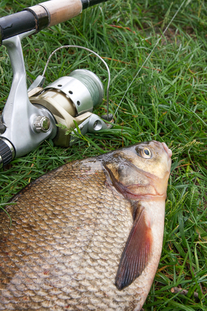 Photo pour Close up view of just taken from the water big freshwater common bream known as bronze bream or carp bream (Abramis brama) and fishing rod with reel on natural background. Natural composition of fish and fishing rod with reel on green grass. - image libre de droit