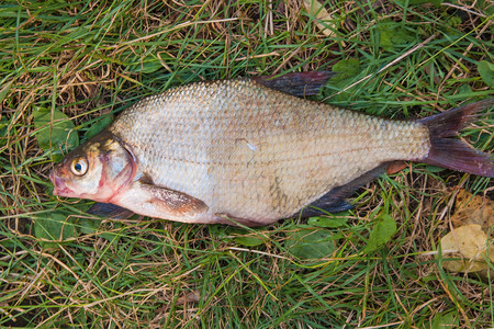 Photo pour Freshwater fish just taken from the water. Several bream fish on green grass. Catching fish - common bream. - image libre de droit