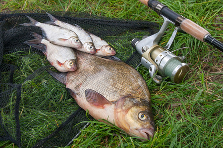 Photo pour Pile of just taken from the water big freshwater common bream known as bronze bream or carp bream (Abramis brama) and white bream or silver fish known as blicca bjoerkna with fishing rod with reel on natural background. Natural composition of fish, black fishing net and fishing rod with reel on green grass. - image libre de droit