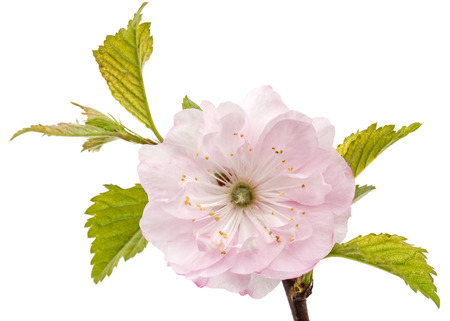 Photo for Twig of blooming almond, pink flower of almond, isolated on white background - Royalty Free Image