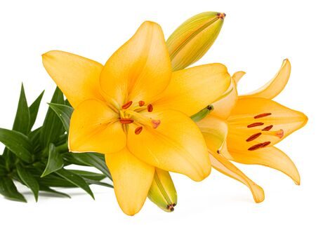 Photo pour Flower of yellow lily, isolated on white background - image libre de droit