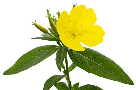 Foto de Flower of yellow Evening Primrose, lat. Oenothera, isolated on white background - Imagen libre de derechos