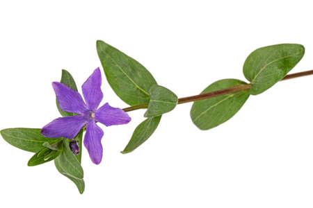 Photo pour Violet flower of periwinkle, lat. Vinca, isolated on white background - image libre de droit