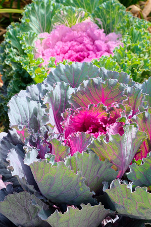 Decorative purple cabbage or kale, Brassica oleracea. Selective focus
