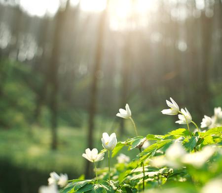 Foto de Spring white flowers blooming in the forest on a background of dawn light - Imagen libre de derechos