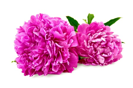 Photo for Two bright pink peonies with green leaf isolated on white background - Royalty Free Image