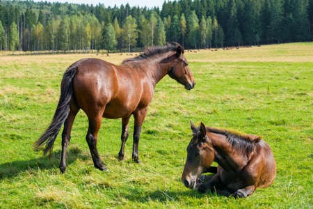 Photo pour Horses graze in the meadow on a summer day - image libre de droit