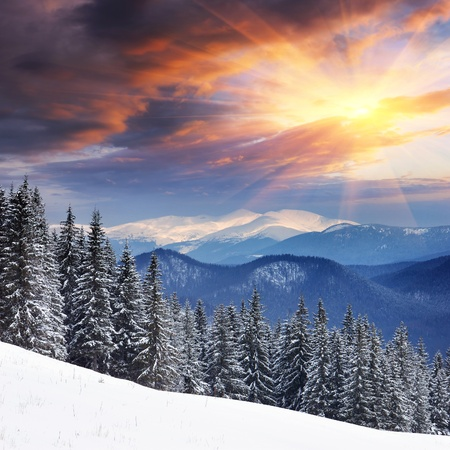 Photo for Winter landscape with fur-trees and fresh snow. Ukraine, Carpathians - Royalty Free Image