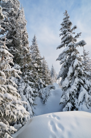 Footsteps In A Snowy Spruce Forest