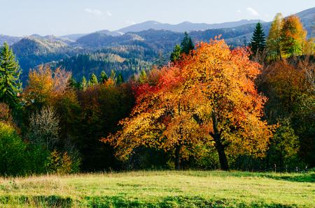 Foto de Autumn in the mountain village. Beautiful cherry tree - Imagen libre de derechos