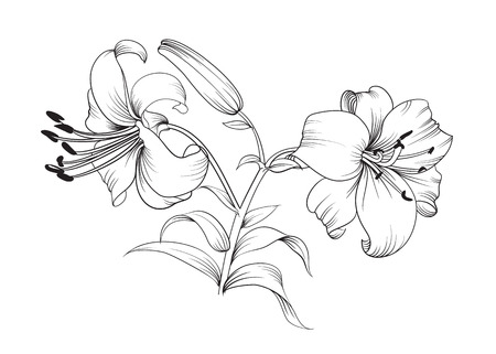 Illustration pour Two lily flowers. Floral background with blooming lilies isolated on white background. Vector illustration. - image libre de droit