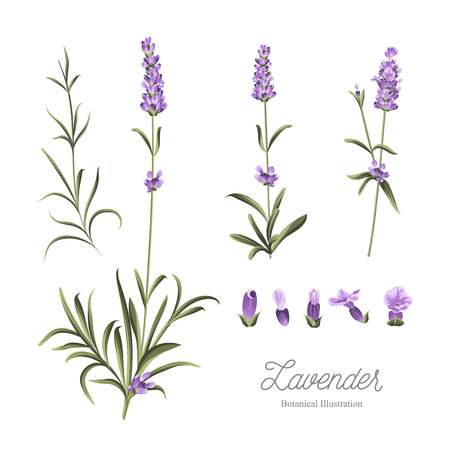 Set of lavender flowers elements. Botanical illustration. Collection of lavender flowers on a white background. Lavender hand drawn. Watercolor lavender set.  Lavender flowers isolated on white background.