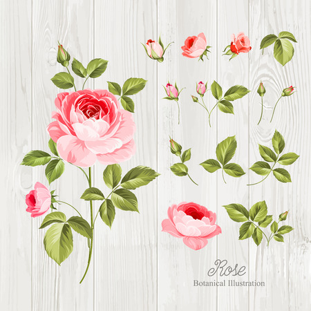 Illustration pour Vintage flowers set over wooden desk. Wedding flowers bundle. Flower collection of watercolor detailed hand drawn roses. Vector illustration. - image libre de droit