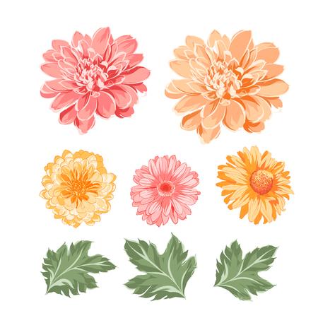 Illustration pour Set of chrysanthemum flowers elements. Botanical illustration. Collection of mum on a white background. Vector illustration bundle. - image libre de droit