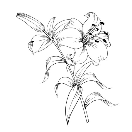 Ilustración de White lily isolated on a white background. Card with blooming lily. Vector illustration. - Imagen libre de derechos
