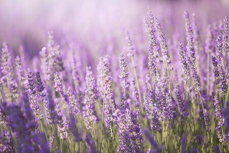 Photo pour Sunset  over lavender bushes. - image libre de droit