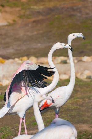 Flamingo (Phoenicopterus roseus ) in zoo