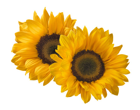 Photo pour 2 sunflower isolated on white background as package design element - image libre de droit