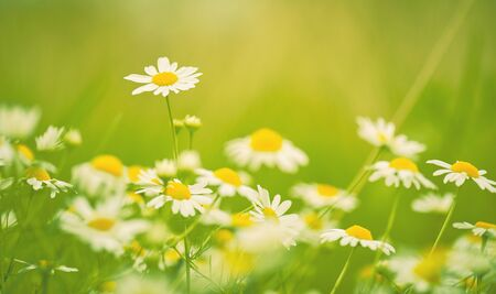 Photo for Summer field of chamomiles or daisies. - Royalty Free Image