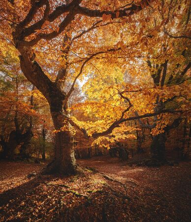 Photo for Beautiful beech tree in a forest. Autumn landscape. - Royalty Free Image