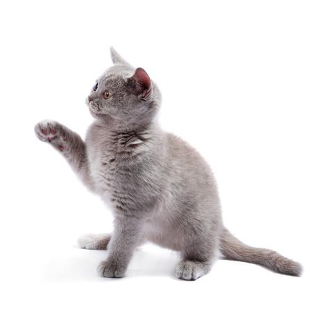 British kitten isolated on the white