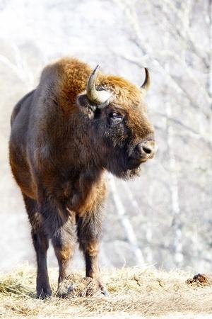 Big wild bison in the winter forest