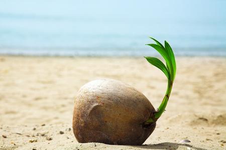 Photo pour coconut sprout on the tropical sea beach - image libre de droit