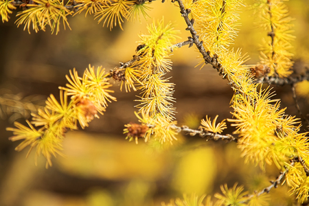 Photo pour Yellow branch of larch tree in forest in sunny autumn day - image libre de droit