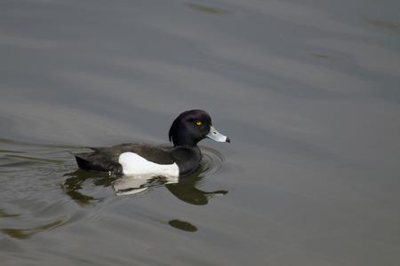 Drake Tufted slowly floating over the pond (Aythya fuligula Lat.)