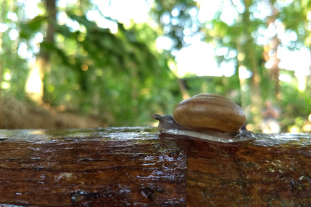 Snail (Scutalus, Achatina fulica.) crawling on concrete wood wall in the afternoon. They have a coiled shell to protect body and Slime can made Nourishing cream. Natural animal. Slow life concept.