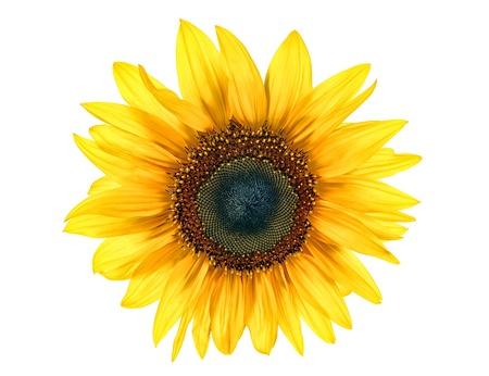 sun flower isolated on white