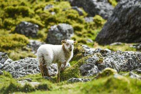Photo pour A small lamb grazing on the grass in England. - image libre de droit