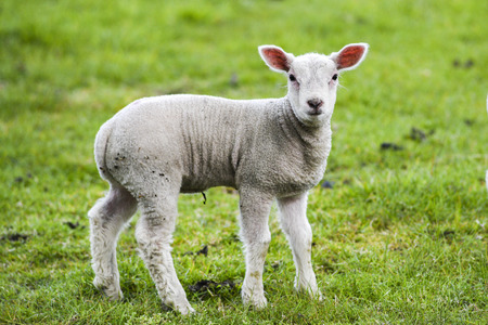 Photo pour A small lamb grazing on the grass in England. - image libre de droit