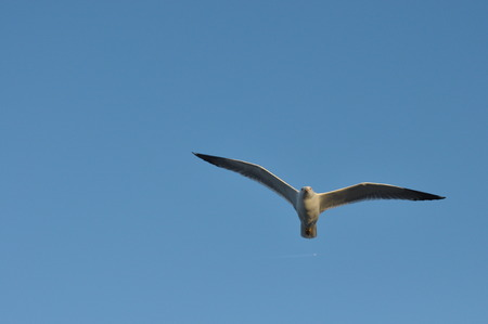 Seagull flying over your head. Alarming bird