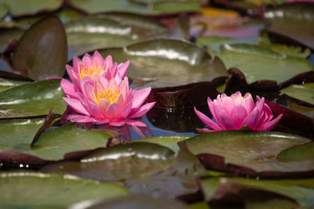 Photo pour Flowers of pink and yellow lotus with green leaves on the water in the lake - image libre de droit