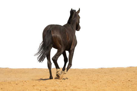 Photo pour Brown Horse gallops across the sand on a white background, without people. - image libre de droit