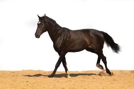 Photo pour Brown horse jumps on sand on a white background - image libre de droit