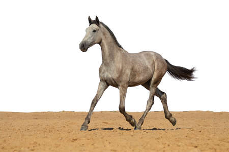 Photo pour White and gray horse jumps on sand on a white background - image libre de droit