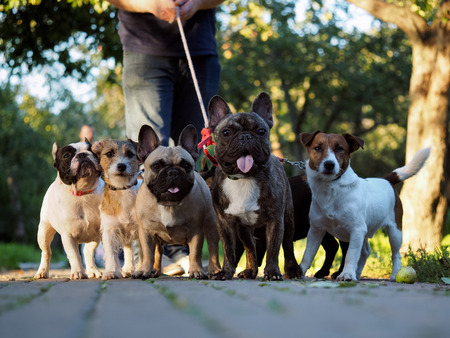 Walking dogs. Many dogs on a leash. A walk in the park with a host. French Bulldogs and Corgi