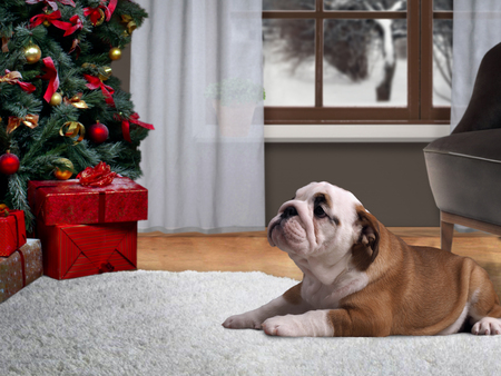 Dog lying on the floor in a house near a Christmas tree with gifts