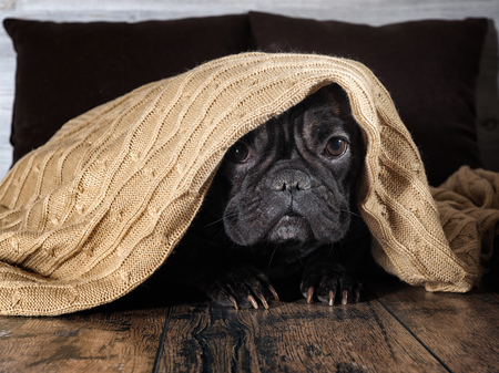 Foto de Amazing dog face. Bulldog funny hid under a warm blanket - Imagen libre de derechos