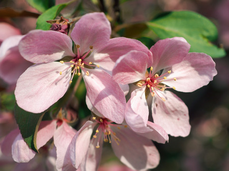 Beautiful and rare pink Apple flowers. Macro