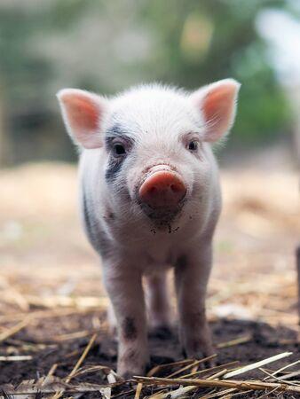 Photo pour Cute little pigs in the farm. Portrait of a pig - image libre de droit