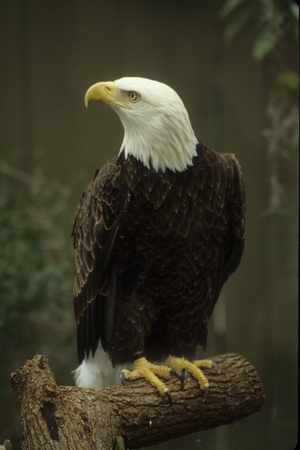 Perched and alert bald eagle. USA
