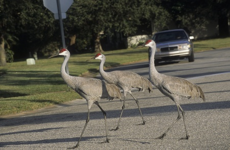 Three sandhill cranes establishing their own right-of-way crossing a neighborhood street in Sarasota, Florida.