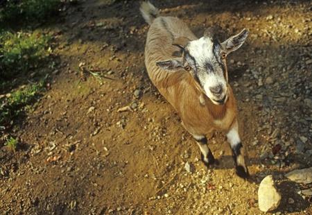 Goat African pygmy Lapra hircus