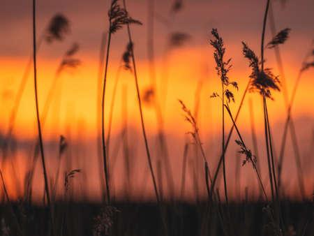 Photo pour Silhouettes of reeds at beautiful sunset - image libre de droit