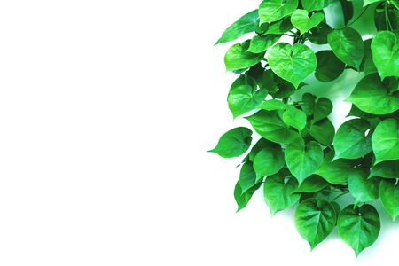 Photo pour Vine with green leaves, heart shaped, twisted separately on a white background - image libre de droit