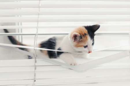 Photo pour Funny tricolor kitten tangled in white blinds playing on the window - image libre de droit