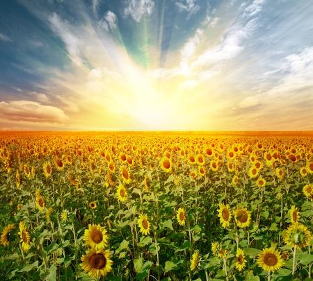 landscape sunflower field on sunset